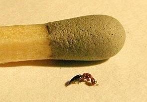 Sclerodermus Domesticus Dermatite Da