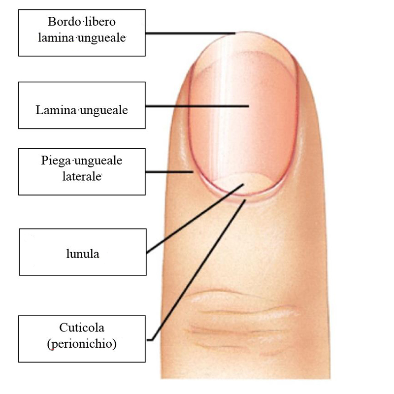 Metodi nazionali da un fungo di posizione di unghie